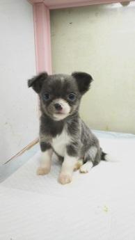 チワワ(ロング)の子犬(ID:1231911064)の3枚目の写真/更新日:2018-04-02