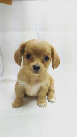 ミックスの子犬(ID:1231911067)の1枚目の写真/更新日:2018-05-14