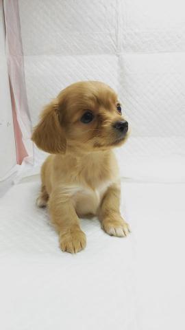 ミックスの子犬(ID:1231911067)の2枚目の写真/更新日:2018-05-14