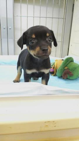 ミックスの子犬(ID:1231911068)の1枚目の写真/更新日:2018-05-14