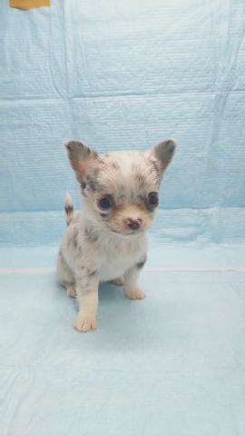 チワワ(ロング)の子犬(ID:1231911070)の1枚目の写真/更新日:2018-05-14