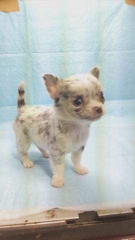 チワワ(ロング)の子犬(ID:1231911070)の3枚目の写真/更新日:2018-05-14