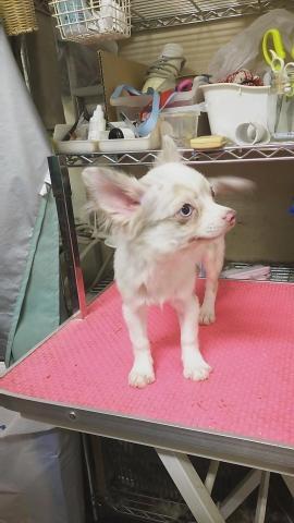 チワワ(ロング)の子犬(ID:1231911071)の2枚目の写真/更新日:2018-05-14