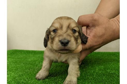 ミニチュアダックスフンド(ロング)の子犬(ID:1232311009)の1枚目の写真/更新日:2020-10-22