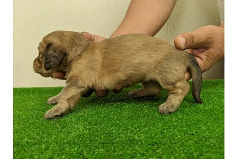 ミニチュアダックスフンド(ロング)の子犬(ID:1232311009)の4枚目の写真/更新日:2020-10-22