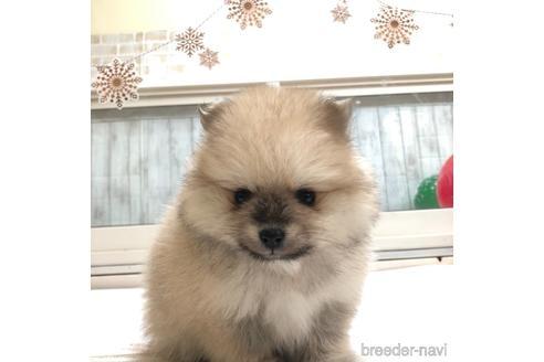 ポメラニアンの子犬(ID:1232311010)の1枚目の写真/更新日:2020-12-28