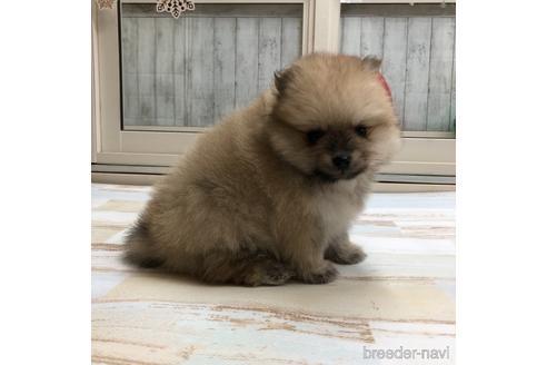 ポメラニアンの子犬(ID:1232311010)の2枚目の写真/更新日:2020-12-28