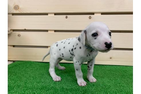ダルメシアンの子犬(ID:1232311011)の3枚目の写真/更新日:2019-09-18