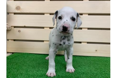 ダルメシアンの子犬(ID:1232311014)の2枚目の写真/更新日:2019-09-18