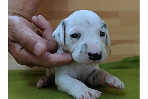 ダルメシアンの子犬(ID:1232311017)の1枚目の写真/更新日:2019-09-18