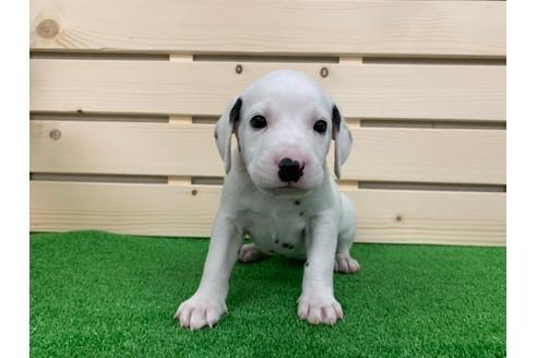 ダルメシアンの子犬(ID:1232311022)の1枚目の写真/更新日:2019-02-24