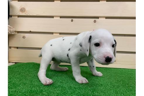 ダルメシアンの子犬(ID:1232311022)の4枚目の写真/更新日:2014-12-28