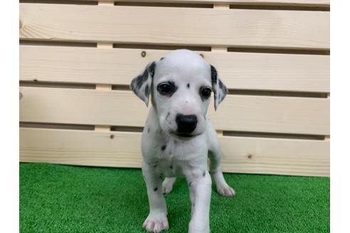 ダルメシアンの子犬(ID:1232311023)の1枚目の写真/更新日:2019-03-05