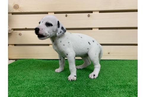 ダルメシアンの子犬(ID:1232311023)の2枚目の写真/更新日:2014-12-28