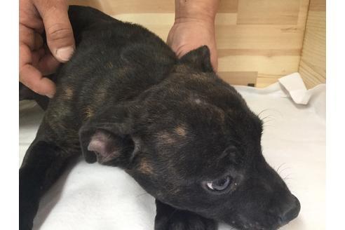 スタッフォードシャーブルテリアの子犬(ID:1232311026)の1枚目の写真/更新日:2019-02-05