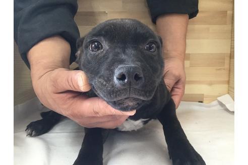 スタッフォードシャーブルテリアの子犬(ID:1232311026)の3枚目の写真/更新日:2017-10-17
