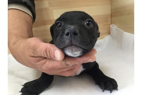スタッフォードシャーブルテリアの子犬(ID:1232311027)の1枚目の写真/更新日:2017-10-17