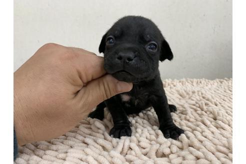 スタッフォードシャーブルテリアの子犬(ID:1232311028)の1枚目の写真/更新日:2017-10-17