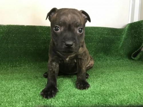 スタッフォードシャーブルテリアの子犬(ID:1232311031)の1枚目の写真/更新日:2017-11-16
