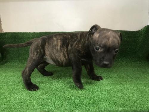スタッフォードシャーブルテリアの子犬(ID:1232311031)の2枚目の写真/更新日:2017-11-16