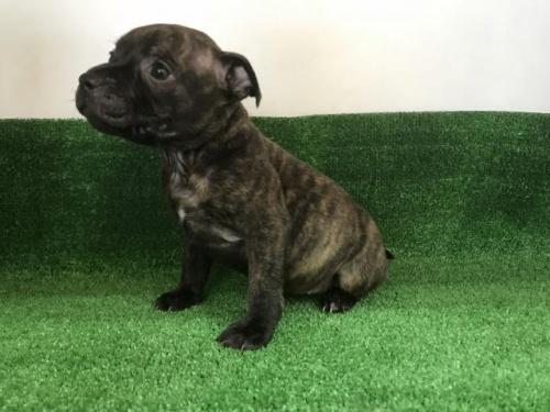スタッフォードシャーブルテリアの子犬(ID:1232311031)の3枚目の写真/更新日:2017-11-16