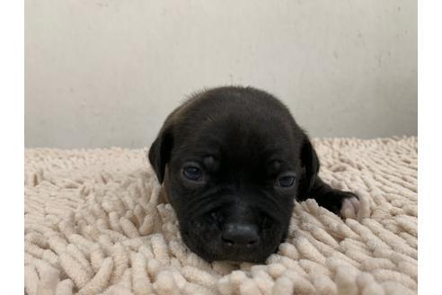スタッフォードシャーブルテリアの子犬(ID:1232311033)の1枚目の写真/更新日:2018-05-18
