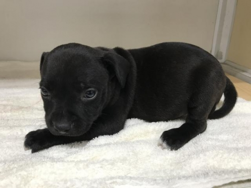 スタッフォードシャーブルテリアの子犬(ID:1232311034)の4枚目の写真/更新日:2018-05-27