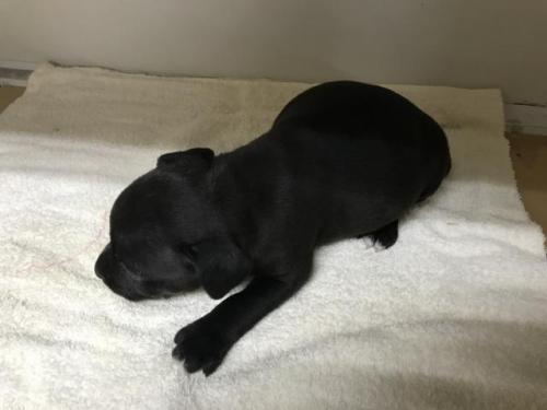 スタッフォードシャーブルテリアの子犬(ID:1232311034)の5枚目の写真/更新日:2018-05-27