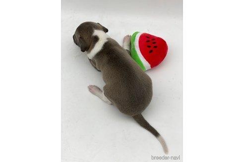 イタリアングレーハウンドの子犬(ID:1232311035)の3枚目の写真/更新日:2020-09-19
