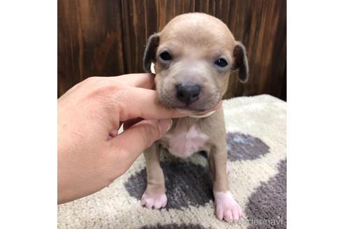 イタリアングレーハウンドの子犬(ID:1232311036)の1枚目の写真/更新日:2019-11-23