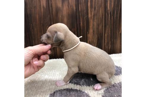 イタリアングレーハウンドの子犬(ID:1232311036)の3枚目の写真/更新日:2020-08-06