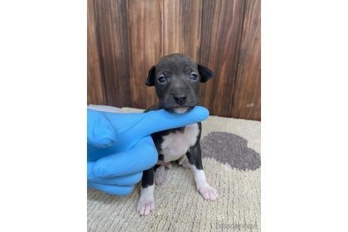 イタリアングレーハウンドの子犬(ID:1232311037)の1枚目の写真/更新日:2020-08-30