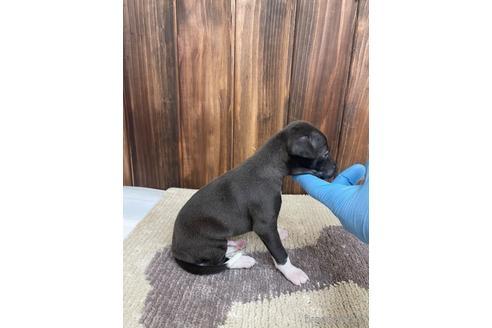 イタリアングレーハウンドの子犬(ID:1232311037)の2枚目の写真/更新日:2019-11-23