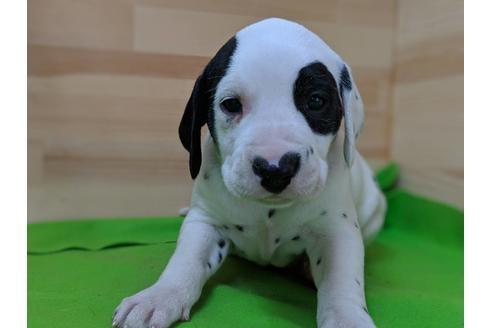 ダルメシアンの子犬(ID:1232311038)の1枚目の写真/更新日:2019-05-20