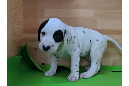 ダルメシアンの子犬(ID:1232311038)の2枚目の写真/更新日:2019-05-20