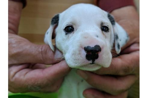 ダルメシアンの子犬(ID:1232311040)の1枚目の写真/更新日:2019-05-20