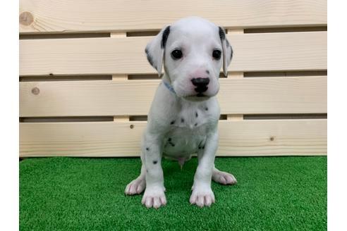 ダルメシアンの子犬(ID:1232311041)の1枚目の写真/更新日:2019-05-20