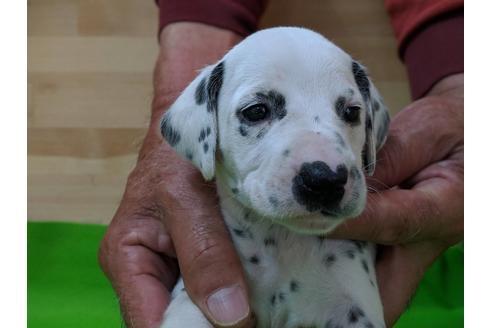 ダルメシアンの子犬(ID:1232311042)の1枚目の写真/更新日:2019-05-20