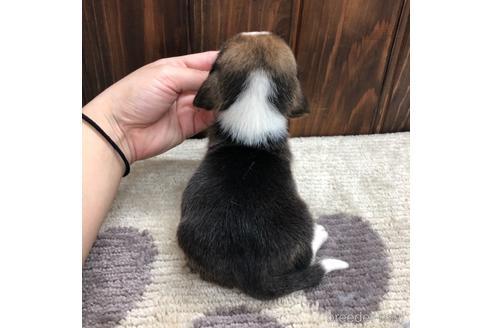 ビーグルの子犬(ID:1232311044)の2枚目の写真/更新日:2019-04-23