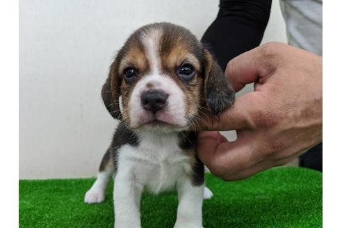 ビーグルの子犬(ID:1232311045)の1枚目の写真/更新日:2020-08-06