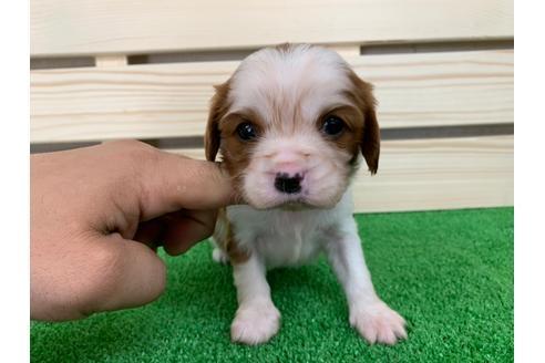 キャバリアの子犬(ID:1232311048)の1枚目の写真/更新日:2019-04-12