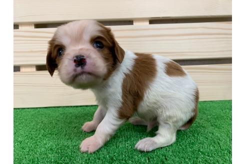 キャバリアの子犬(ID:1232311050)の1枚目の写真/更新日:2019-04-12