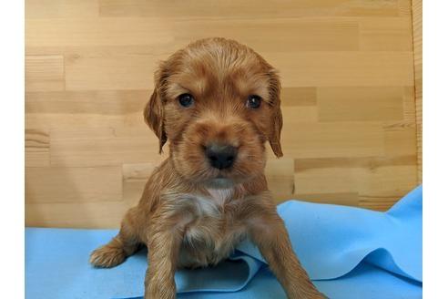 イングリッシュコッカースパニエルの子犬(ID:1232311053)の2枚目の写真/更新日:2019-06-07
