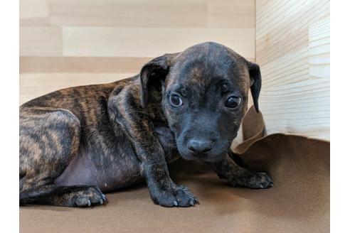 スタッフォードシャーブルテリアの子犬(ID:1232311055)の3枚目の写真/更新日:2019-08-17