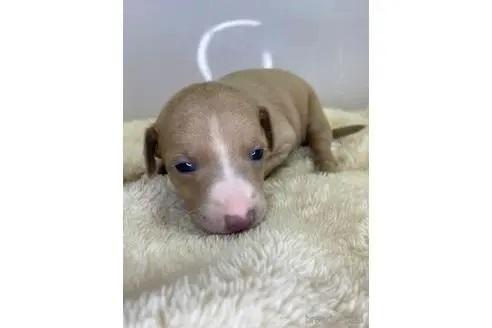 イタリアングレーハウンドの子犬(ID:1232311056)の1枚目の写真/更新日:2019-08-28