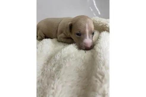 イタリアングレーハウンドの子犬(ID:1232311056)の4枚目の写真/更新日:2020-12-28