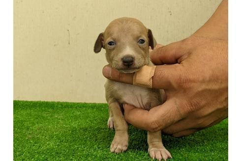 イタリアングレーハウンドの子犬(ID:1232311059)の1枚目の写真/更新日:2020-08-06