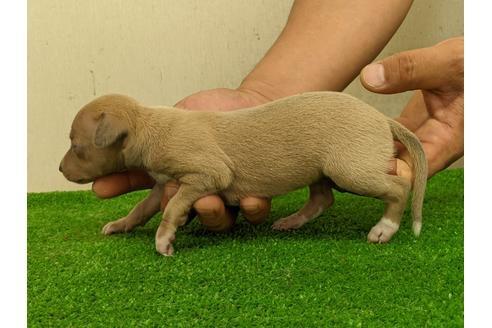 イタリアングレーハウンドの子犬(ID:1232311059)の4枚目の写真/更新日:2020-10-22