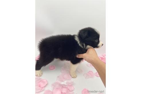 ボーダーコリーの子犬(ID:1232311065)の4枚目の写真/更新日:2021-03-29