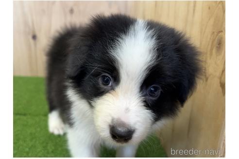 ボーダーコリーの子犬(ID:1232311070)の1枚目の写真/更新日:2021-03-29
